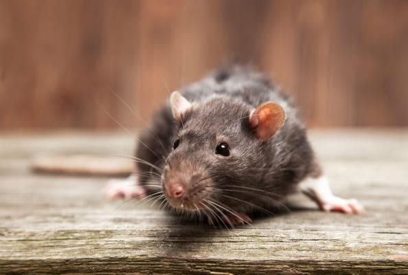 Manchester Exterminators Rodent Control