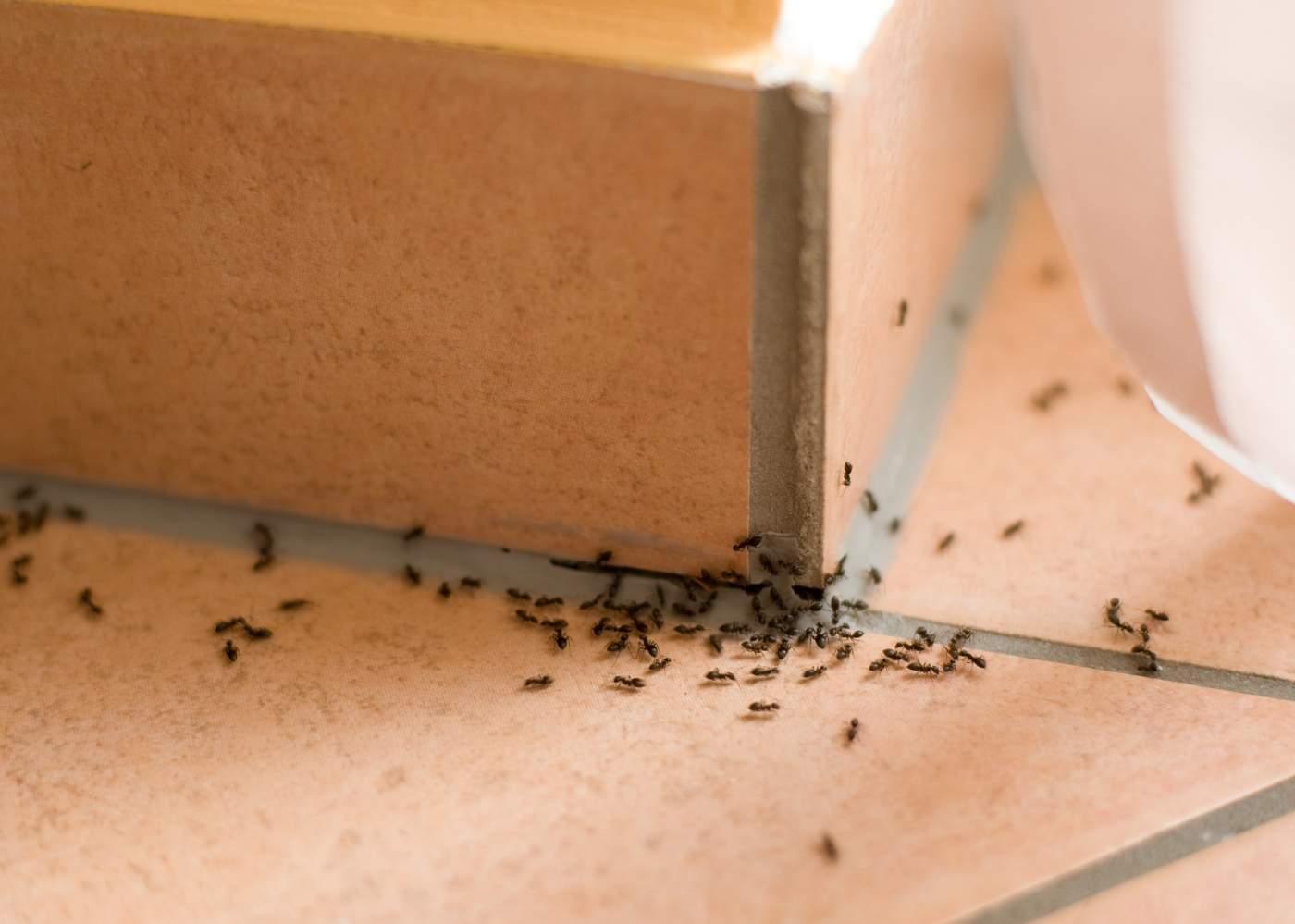 ant problems pest control services, manchester