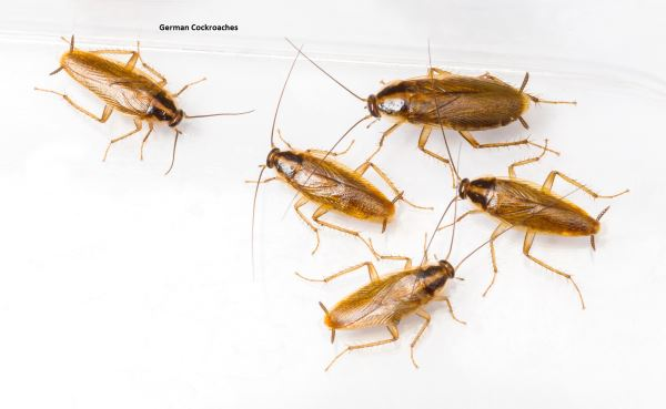 cockroach problems pest control services, manchester