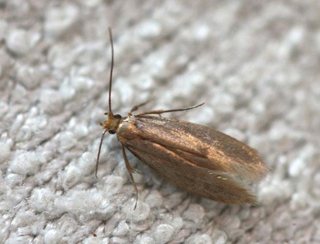 Moths pest control services