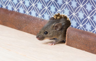 Rodent proofing your home this winter